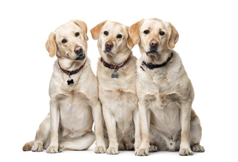 Groupe de se reposer de chiens de labrador retriever photographie stock