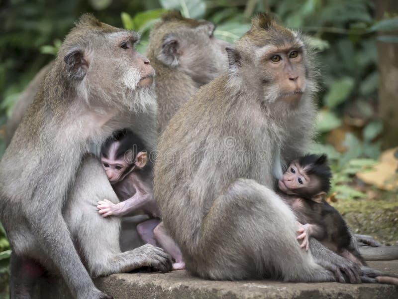 Groupe de singes avec deux jeunes alimentant des mères dans la forêt d'Ubud, Bali, Indonésie image stock