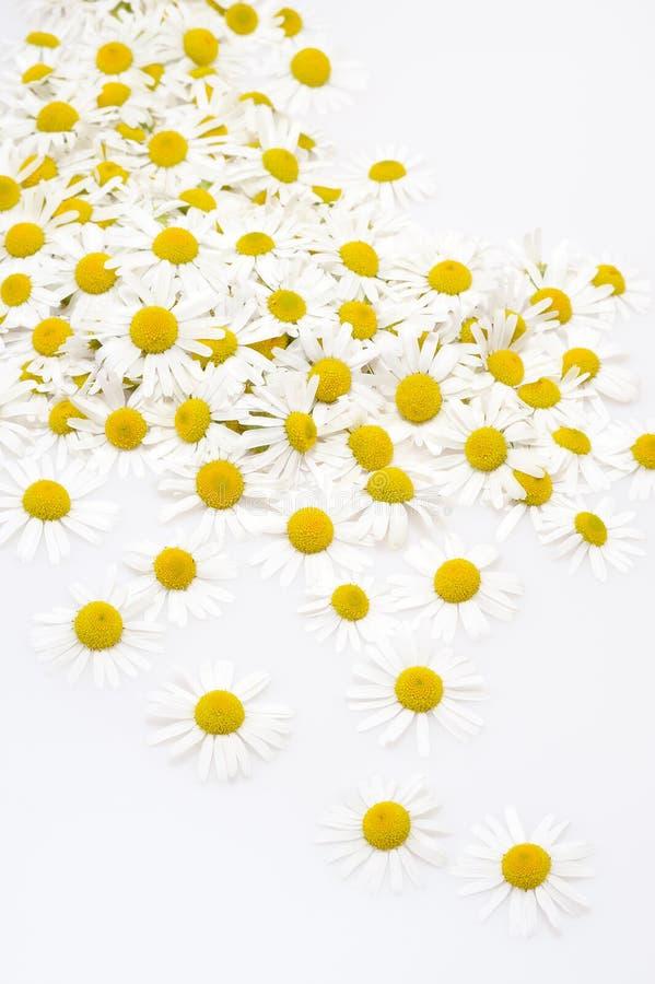 Groupe de têtes de fleur de camomille d'isolement sur le blanc photos stock