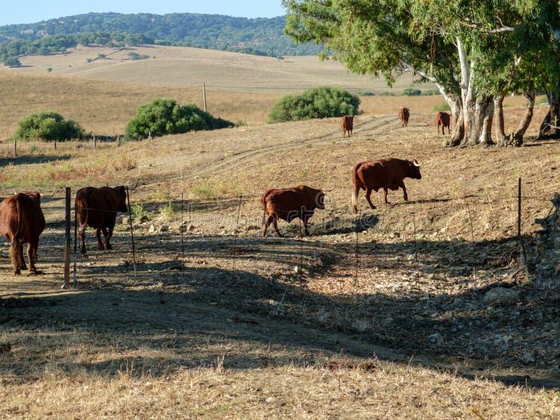 Groupe de taureaux croisant une gorge dans le pré images stock