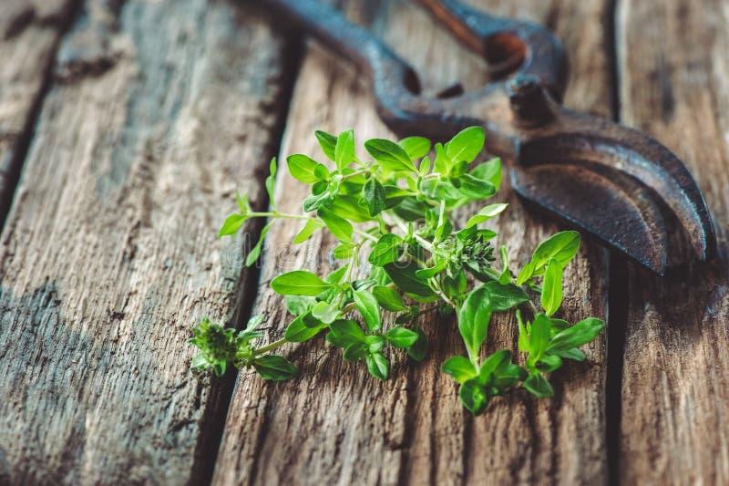 Groupe de thym sur un vieux conseil en bois avec des ciseaux de cru pour couper l'herbe dans le jardin Copiez l'espace photos stock