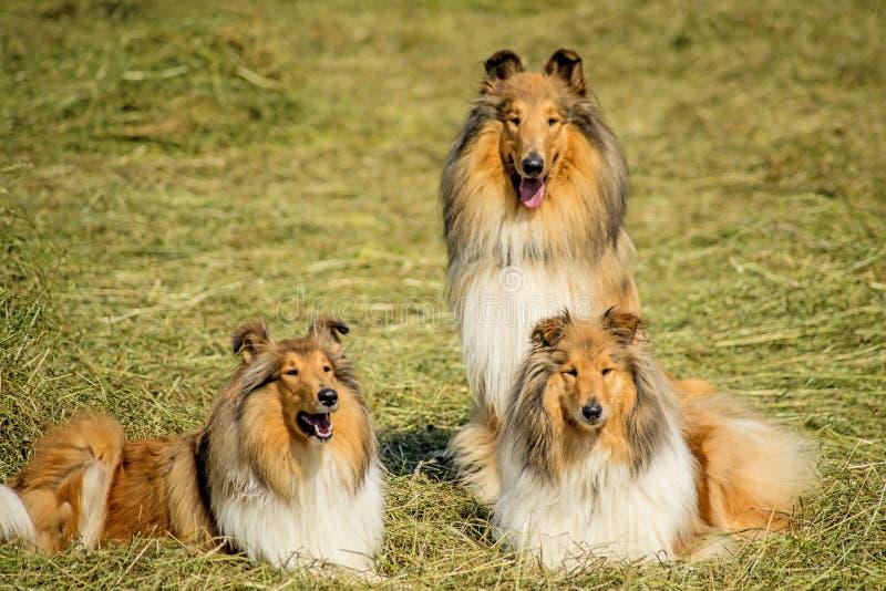 Groupe de trois chiens de colley photographie stock