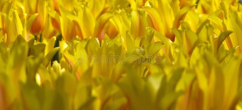 Groupe de tulipes jaunes avec le détail orange images stock