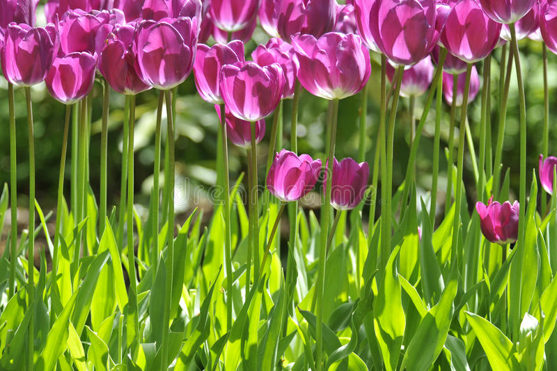 Groupe de tulipes pourpres dans la rangée image stock