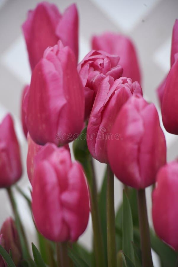 Groupe de tulipes roses photos stock