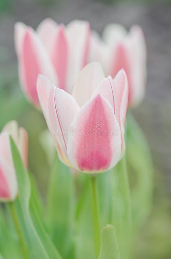 Groupe de tulipes rouges et blanches dans le jardin Tulipe de Rosy Dream photos stock