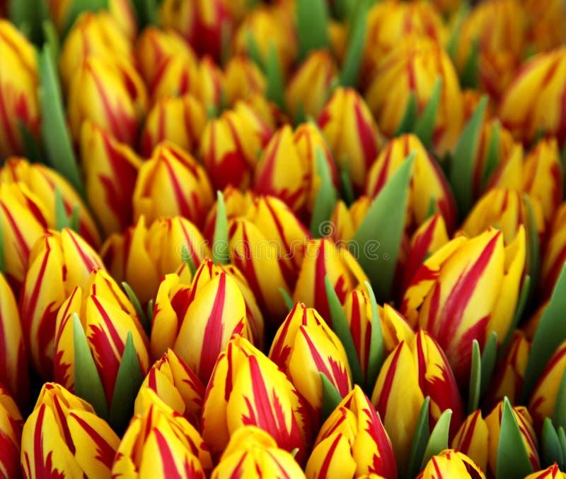 Groupe de tulipes rouges et jaunes photographie stock