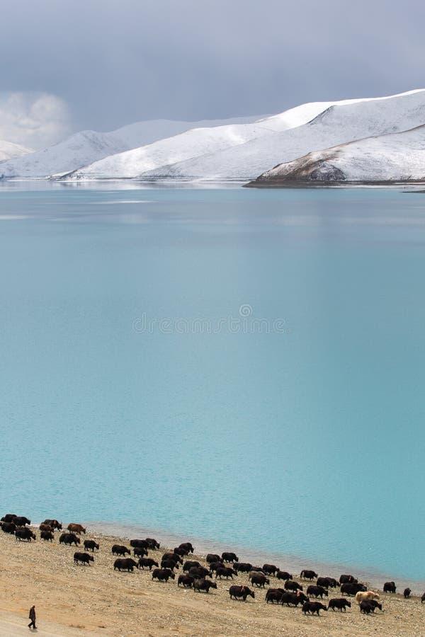 Groupe de yaks avec la montagne et le lac image libre de droits