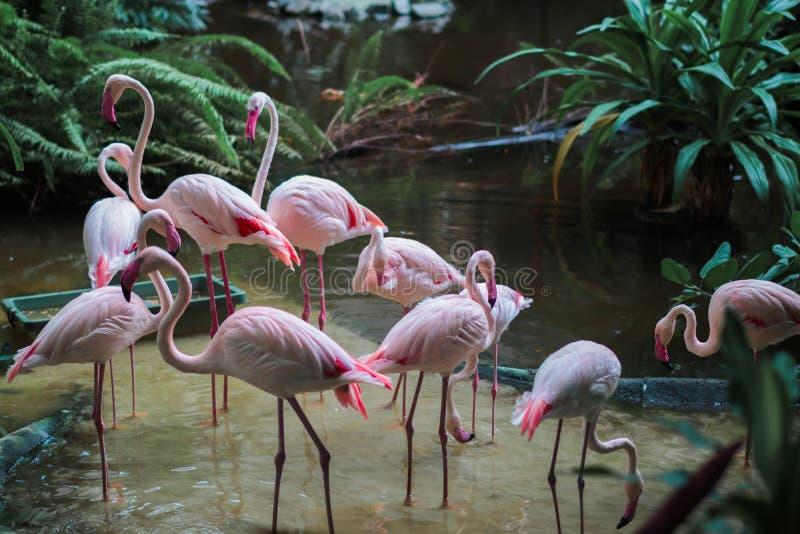 Groupe dei fenicotteri che stanno in acqua in una giungla fotografia stock libera da diritti