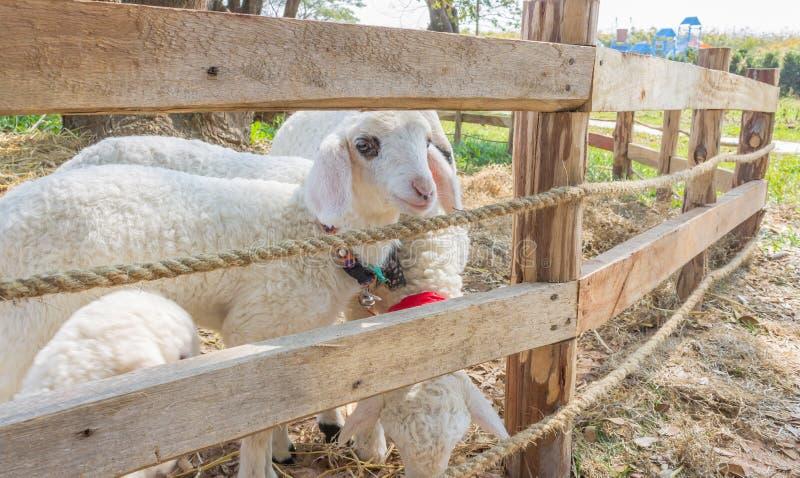 Groupe des moutons blancs ou du Ram Animal dans la stalle images libres de droits