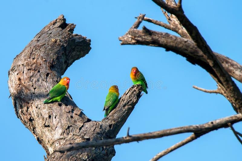 Groupe des perruches de Fisher coloré sur l'arbre contre le ciel bleu image libre de droits