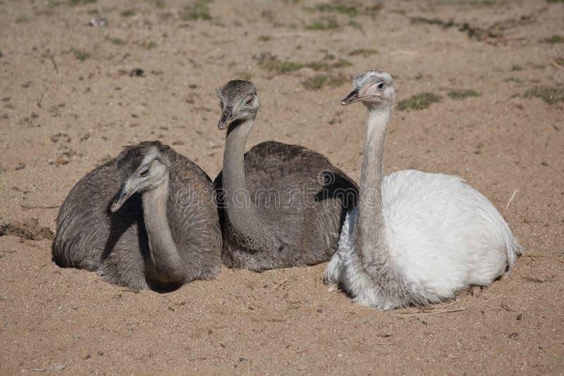 Groupe des rheas plus grands photographie stock libre de droits