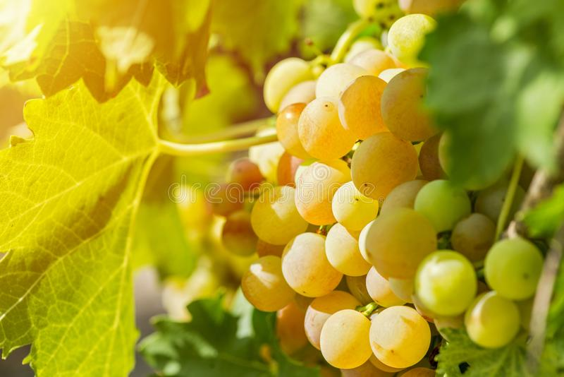 Groupe doux et savoureux de raisin blanc sur la vigne Groupes m?rs blancs de raisin photographie stock