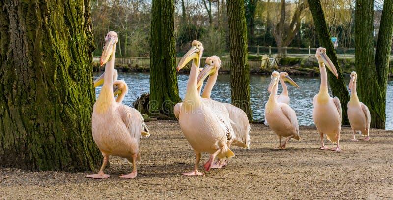 Groupe drôle de pélicans attrayants suivant tout le même pélican, concept suiviste, portrait de famille d'oiseau photo libre de droits