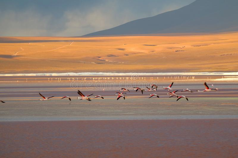 Groupe du vol de flamant sur la lagune rouge de Laguna Colorada, Bolivie photo libre de droits