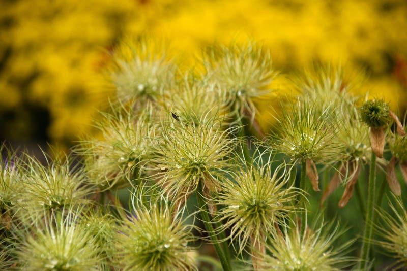 Groupe Faded Pasque Flowers sur le fond jaune avec des baisses de l'eau photographie stock