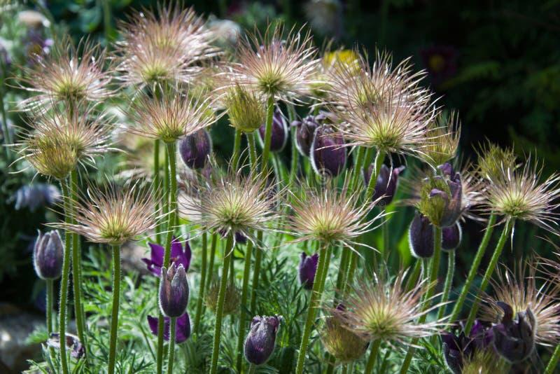 Groupe Faded Pasque Flowers sur le fond noir image stock