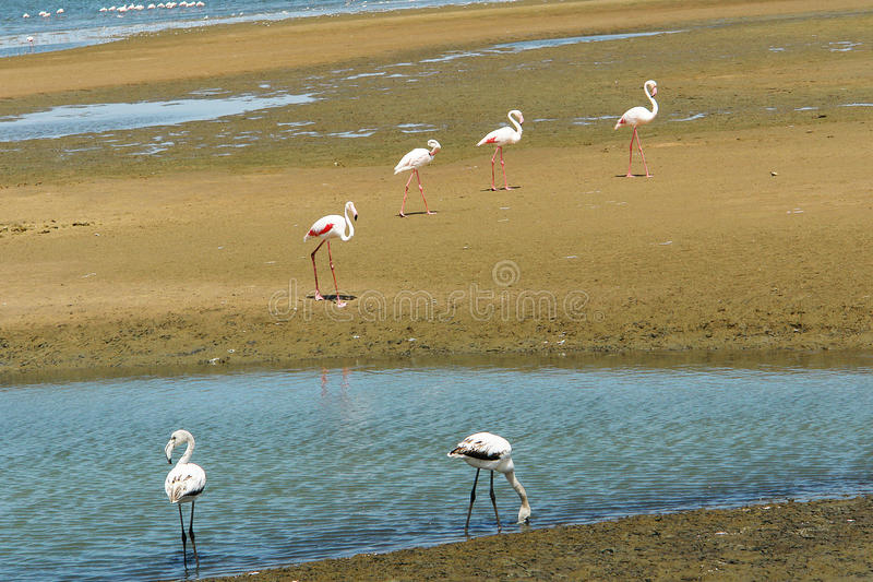 Groupe of flamingos stock photography