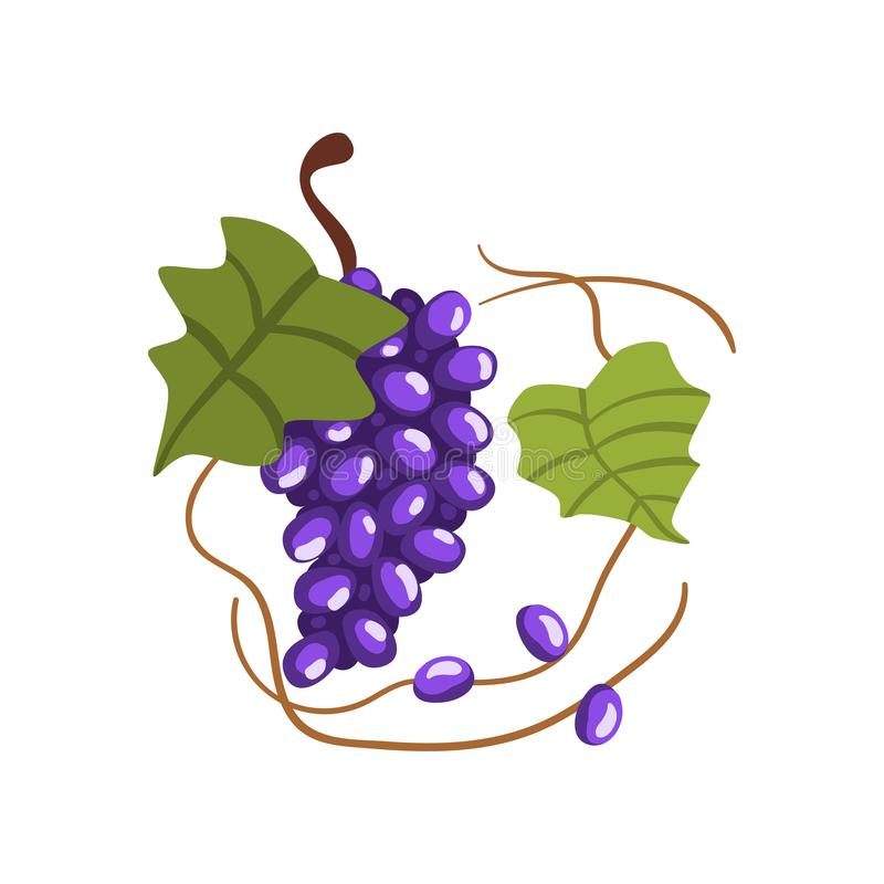 Groupe frais de raisins rouges, illustration de vecteur de processus de fabrication d'établissement vinicole sur un fond blanc illustration de vecteur