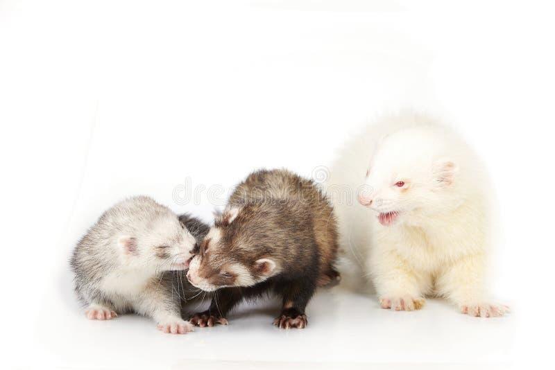 Groupe gentil de furet avec le mâle albinos sur le fond blanc photo libre de droits