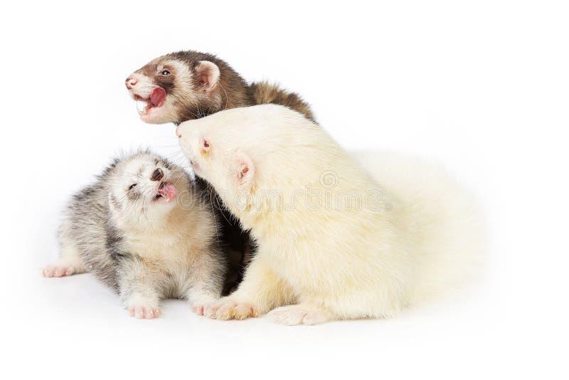 Groupe gentil de furet avec le mâle albinos sur le fond blanc photo stock