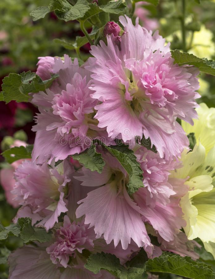 Groupe lilas de rose trémière rose - alcea - dans un jardin botanique au Panama photos stock