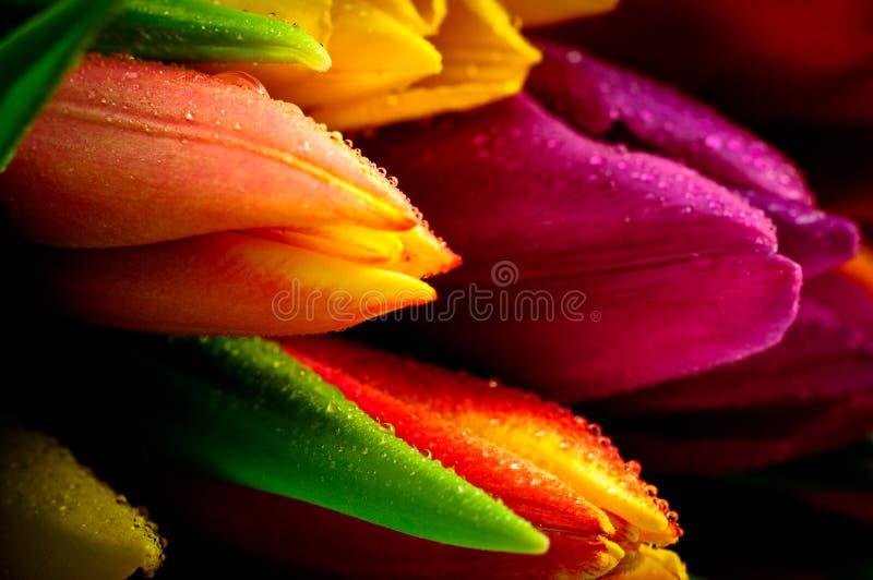 Groupe mélangé Waterdrops en gros plan d'arc-en-ciel de tulipes humide photographie stock libre de droits