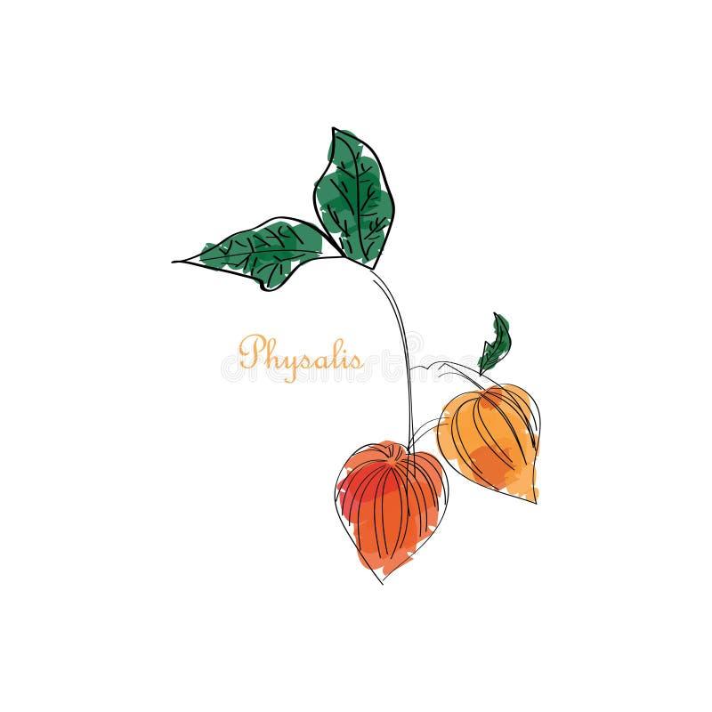 Groupe mûr tiré par la main de baies de Physalis avec l'icône de feuilles Vitamine organique naturelle de style de croquis illustration de vecteur