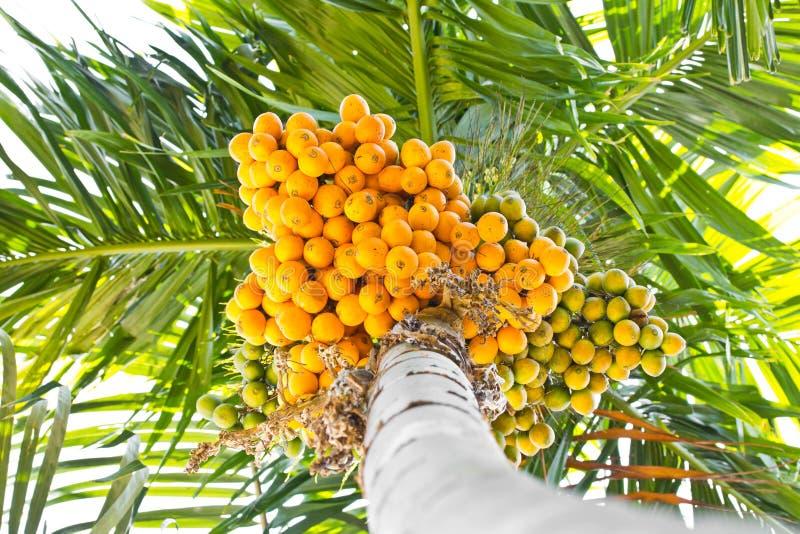 Groupe mûr de noix de bétel (arec). photo stock