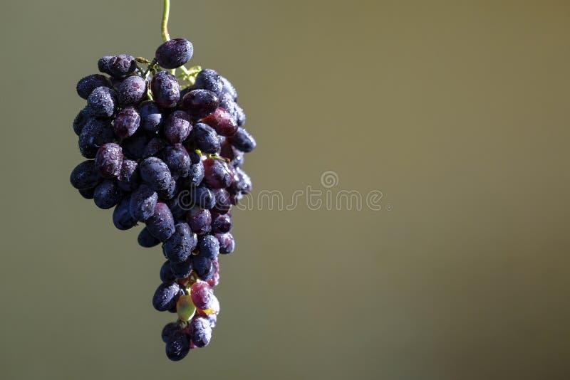 Groupe noir de raisin groupe noir humide solitaire de raisin photos libres de droits