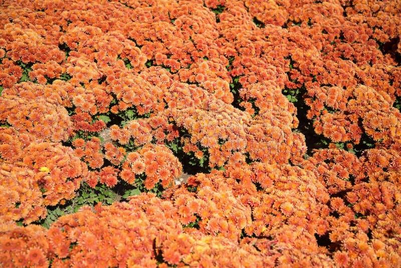Groupe orange de chrysanthème images libres de droits