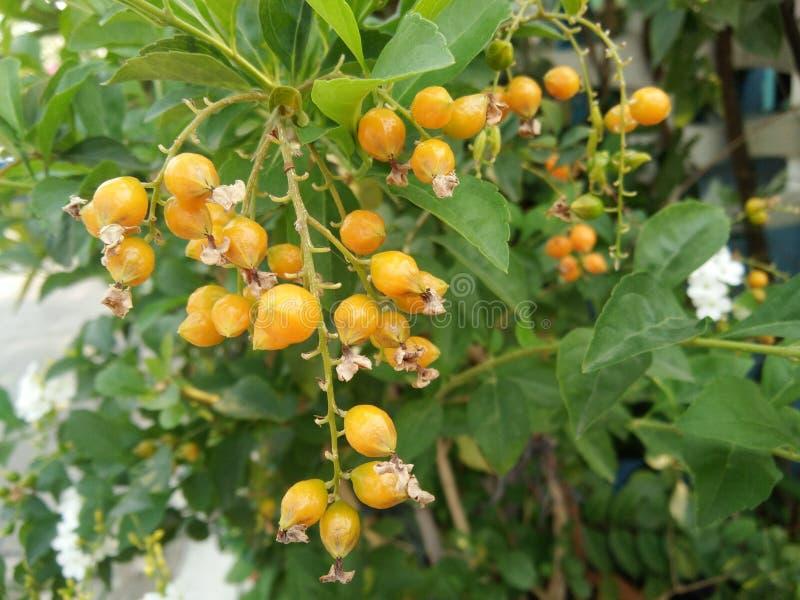 Groupe orange de fruits d'erecta de Duranta, goutte de rosée d'or, arbre de fleur de ciel photo libre de droits