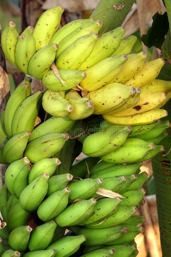 Groupe organique de banane photographie stock libre de droits