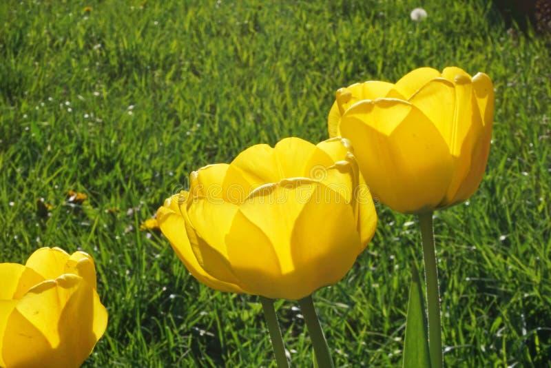 Groupe ouvert jaune de fleurs de tulipe avec un fond d'herbe verte photo stock
