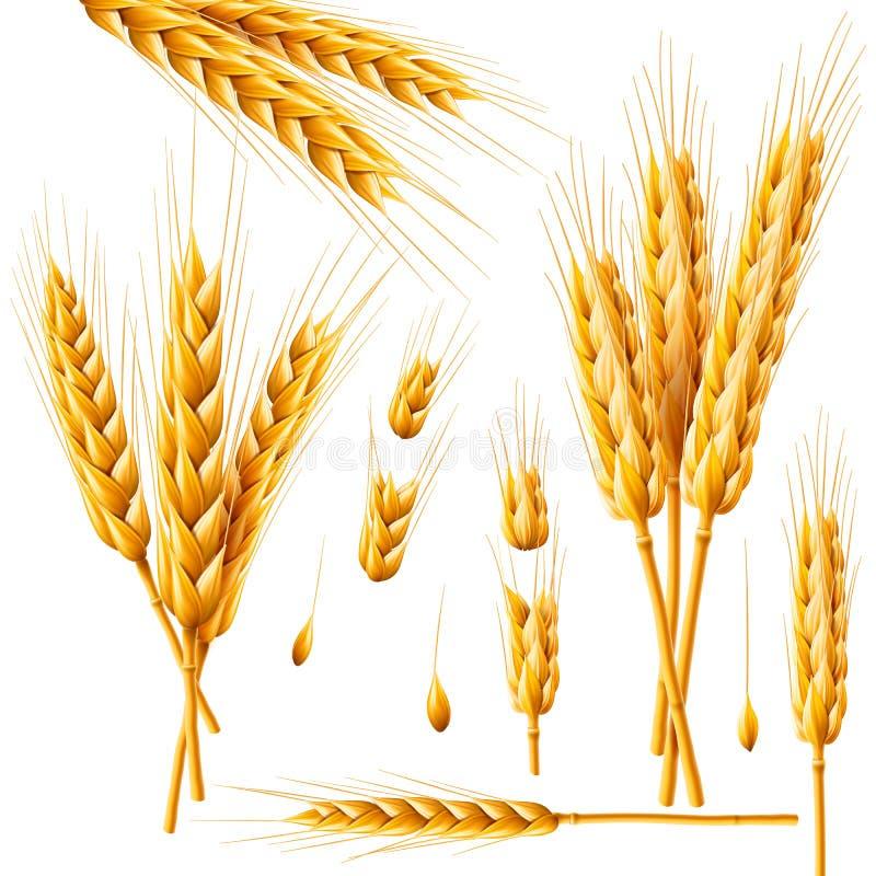 Groupe réaliste de blé, d'avoine ou d'orge d'isolement sur le fond blanc Ensemble de vecteur d'oreilles de blé Grains des céréale illustration de vecteur