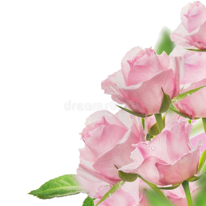 Groupe rose de roses, d'isolement sur le blanc photographie stock