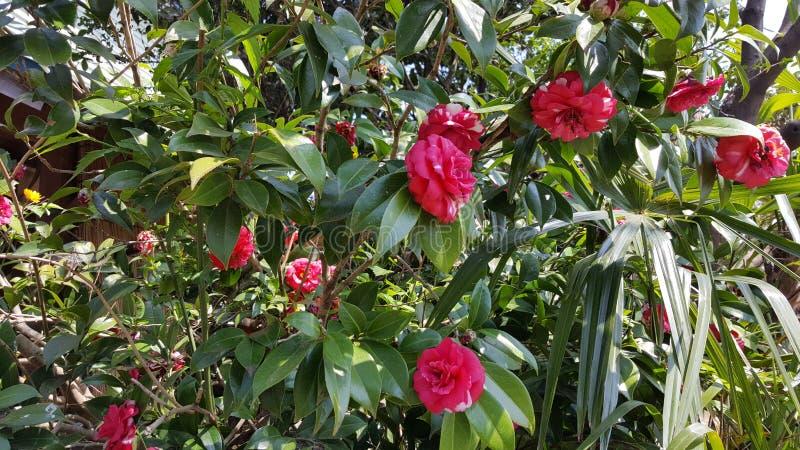 Groupe rouge de fleur images stock