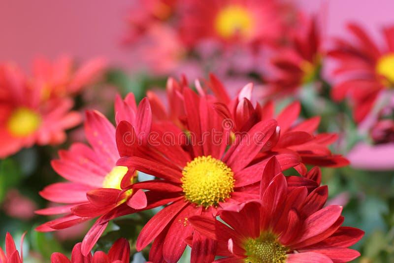Groupe rouge de fleur sur le rose photographie stock libre de droits