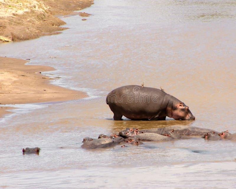 Groupe van Afrikaanse hippos die in de rivier bespatten Dieren in het wild Hippoclose-up stock afbeelding