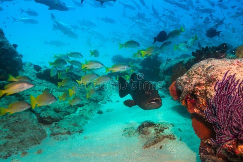Grouper λεοπαρδάλεων (rosacea Mycteroperca) στοκ φωτογραφία