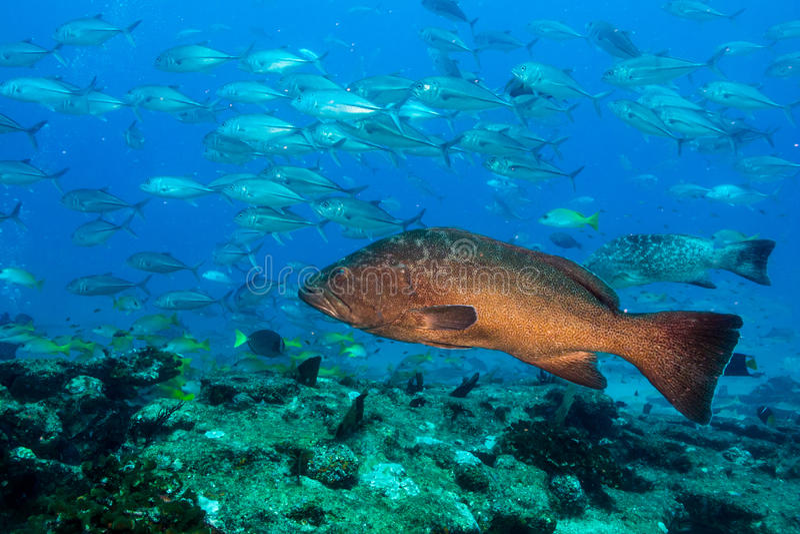 Grouper λεοπαρδάλεων (rosacea Mycteroperca) στοκ εικόνες με δικαίωμα ελεύθερης χρήσης