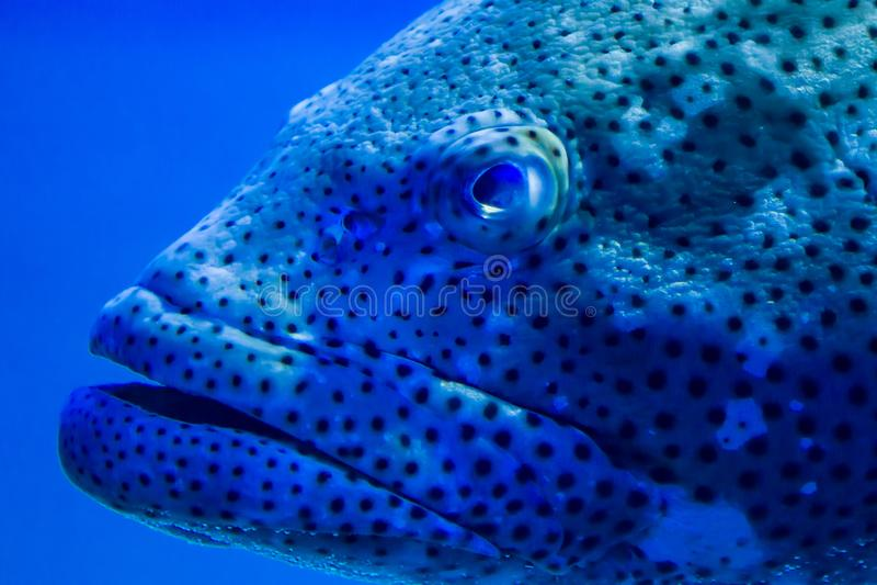 Grouper επάνω στενό στοκ εικόνες με δικαίωμα ελεύθερης χρήσης
