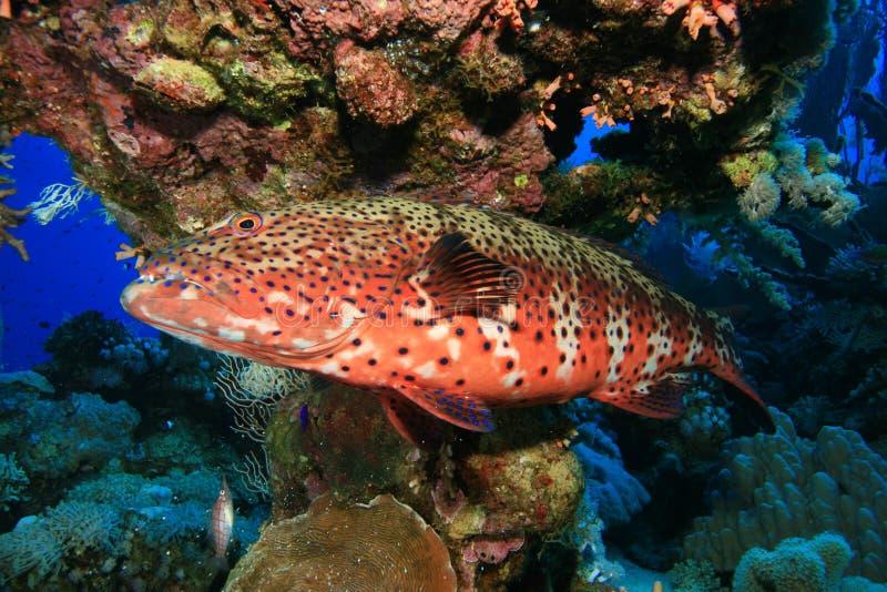 grouper κοραλλιών Ερυθρά Θάλα&sigma στοκ εικόνες