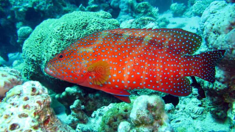 Grouper κοραλλιών στη Ερυθρά Θάλασσα της Αιγύπτου στοκ φωτογραφίες