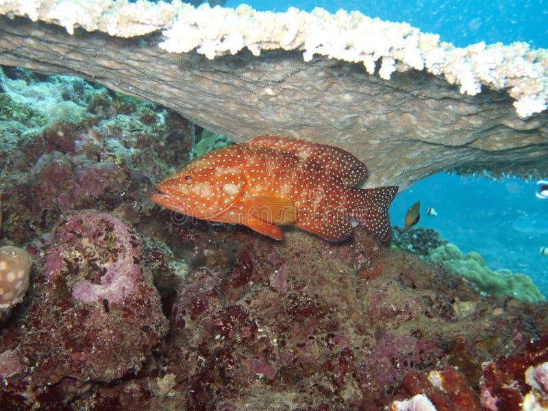 grouper κοραλλιών στοκ φωτογραφία με δικαίωμα ελεύθερης χρήσης