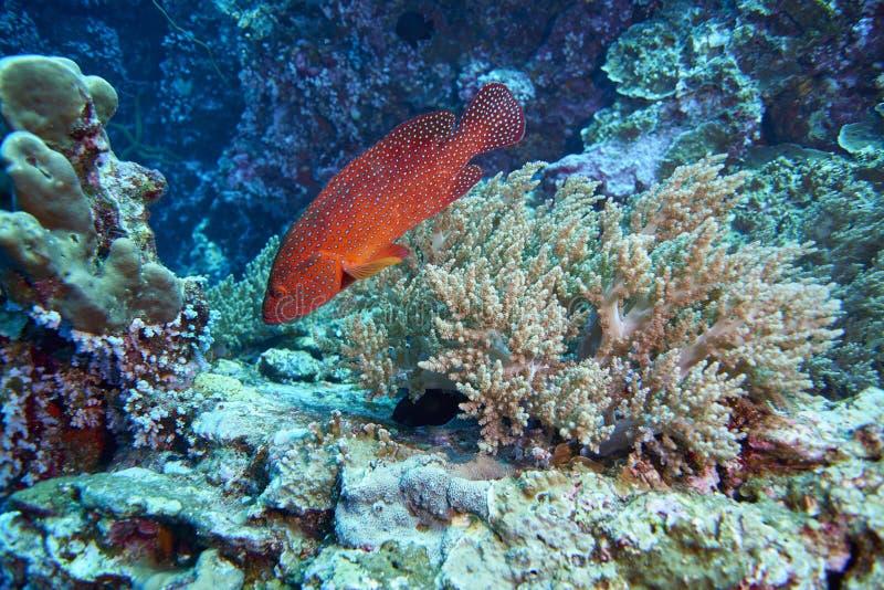 grouper κοραλλιών cephalopholis λατινικό όνομα miniata στοκ εικόνα