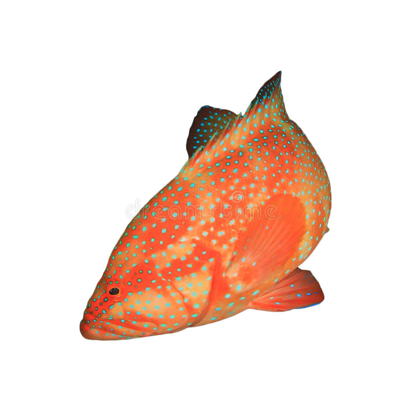 Grouper κοραλλιών ψάρια στοκ φωτογραφία με δικαίωμα ελεύθερης χρήσης
