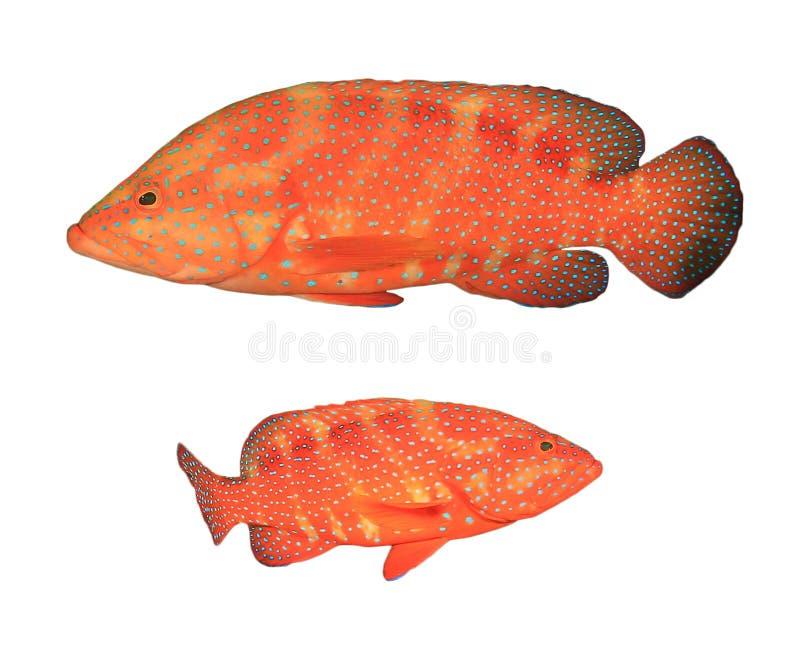 Grouper κοραλλιών ψάρια στοκ εικόνα