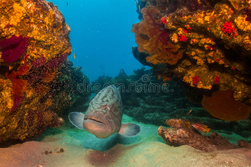 Grouper Κόλπων (jordani Mycteroperca) στοκ φωτογραφίες με δικαίωμα ελεύθερης χρήσης