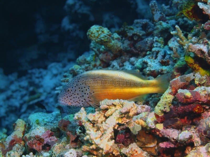 grouper στοκ εικόνες